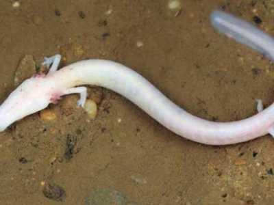 洞螈 十大奇特無眼動物